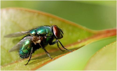 Lucilia sp mouche verte lucilia caesar le monde des insectes - Invasion de mouches vertes ...