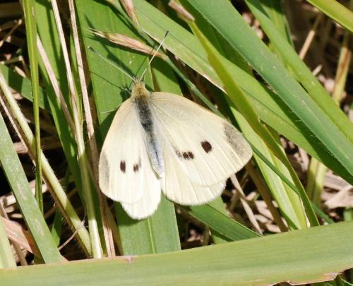R�f. 80231 : Pieris rapae
