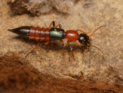 Paederus littoralis - Insecte rouge et noir ...