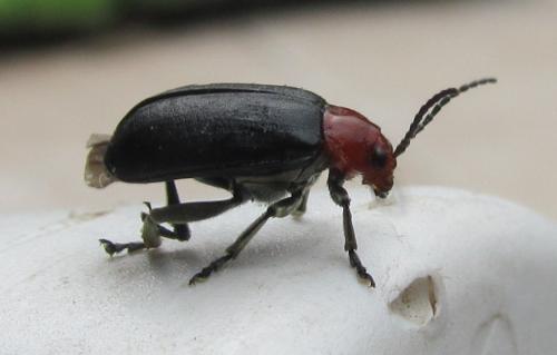 Coleoptera corps noir et tete rouge le monde des insectes - Insecte rouge et noir ...