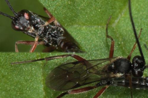 campopleginae ichneumonidae in copula le monde des insectes. Black Bedroom Furniture Sets. Home Design Ideas