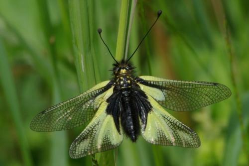 R�f. 85407 : Libelloides coccajus