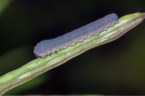 Athalia sp larve de tenthr de grise le monde des insectes for Chenille grise