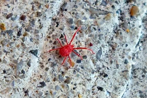 prostigmata erythraeidae araign e rouge le monde des insectes. Black Bedroom Furniture Sets. Home Design Ideas