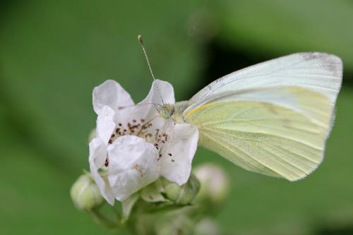 R�f. 87173 : Pieris rapae