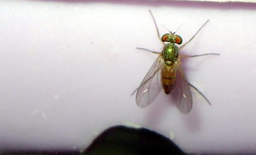 sciapus sp mini mouche thorax vert le monde des insectes. Black Bedroom Furniture Sets. Home Design Ideas