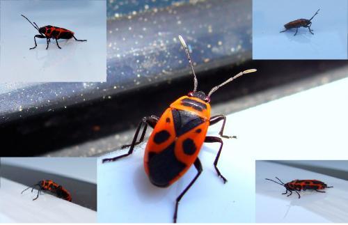 Pyrrhocoris apterus beau bouclier africain rouge et noir le monde des insectes - Insecte rouge et noir ...