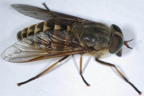 Tabanus sudeticus - Mouche jaune et noire ...