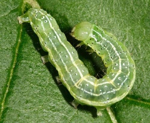 Cosmia trapezina chenille verte de noctuelle le monde des insectes - Chenille verte et noire ...