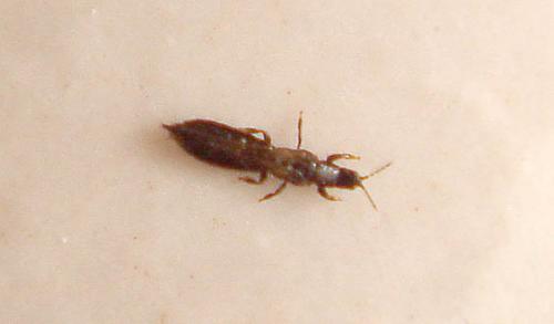 limothrips cerealium invasion de 2mm de long x 1 2 mm de large le monde des insectes. Black Bedroom Furniture Sets. Home Design Ideas