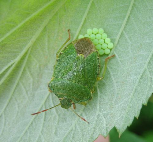 palomena prasina punaise verte pr parant sa descendance le monde des insectes. Black Bedroom Furniture Sets. Home Design Ideas