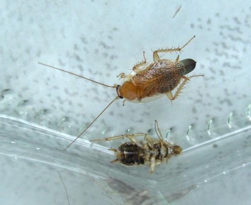 ectobius sp f petit insecte brun clair kesako le monde des insectes. Black Bedroom Furniture Sets. Home Design Ideas