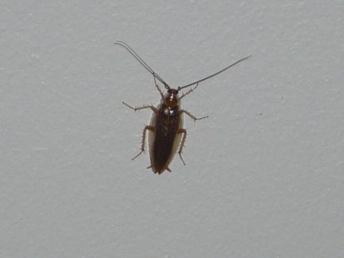 Ectobius sp blattes envahissantes le monde des insectes for Insectes rampants salle de bain