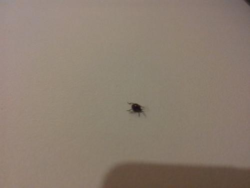 gibbium sp ins cte tr s envahissant ressemble a une tique le monde des insectes. Black Bedroom Furniture Sets. Home Design Ideas