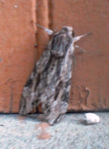 Agrius convolvuli papillon de nuit inconnu le monde des insectes - Gros papillon de nuit dangereux ...