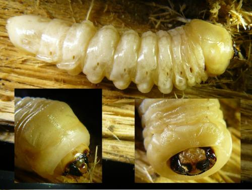 Réf. 96835 : Aegosoma scabricorne