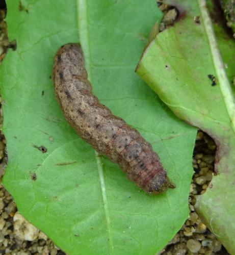 Noctuidae une chenille grise le monde des insectes for Chenille grise