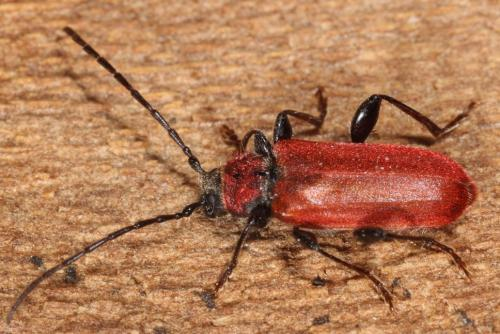 pyrrhidium sanguineum la callidie sanguine le monde des insectes. Black Bedroom Furniture Sets. Home Design Ideas